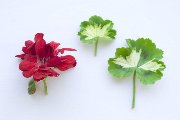 redweddingboutonnieres You will need 2 geranium leaves