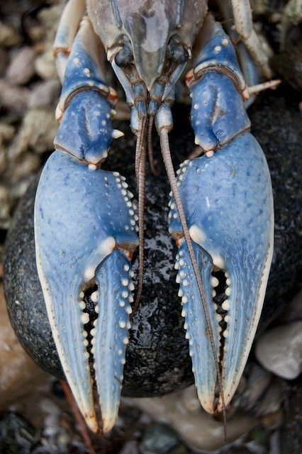 beautiful blue crab
