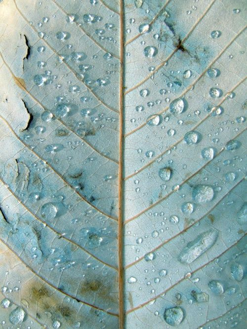 blue leaf rain drops