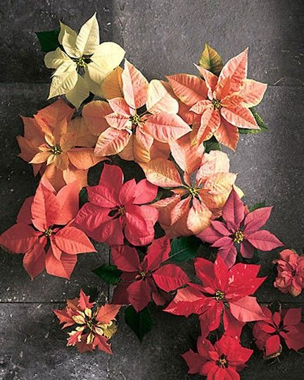 holiday poinsettia red ombre plants