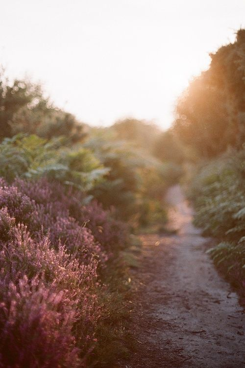 purple field flowers path