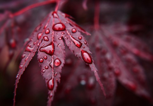 red leaves raindrop