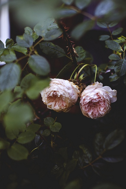 simple garden roses natural