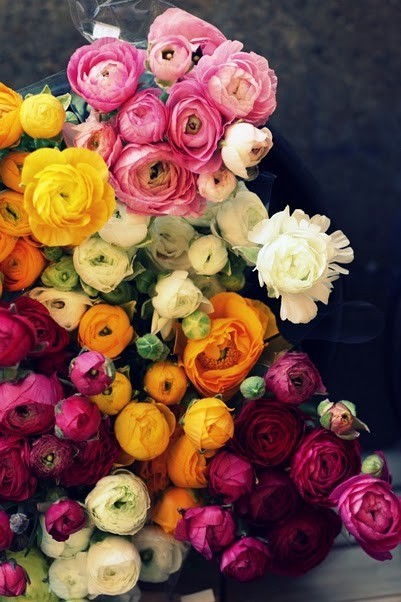 tight bloom ranunculus flower pink yellow red