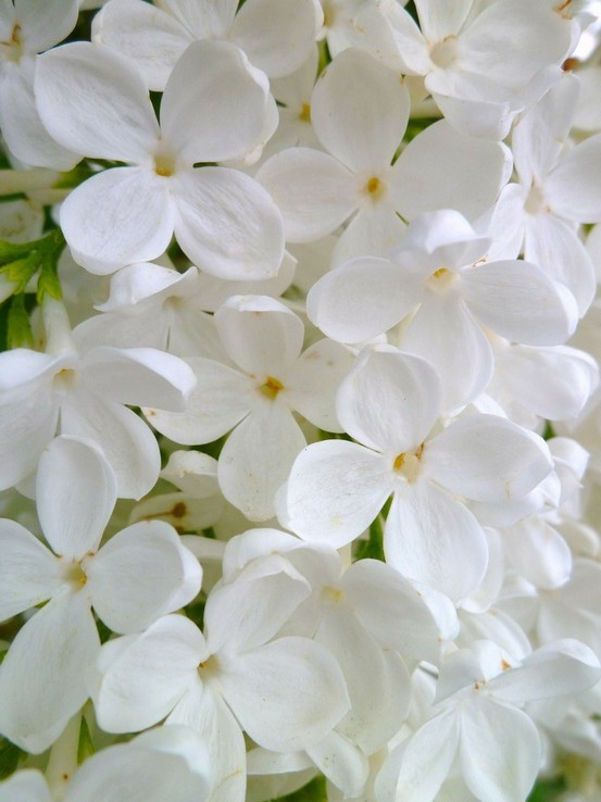 white soft flowers