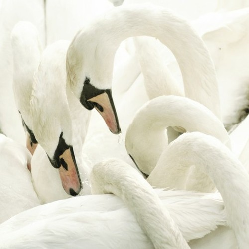 white swans winter