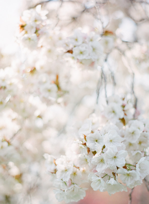 cherry-blossom-film-photos