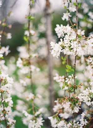 spring-blossoms-white