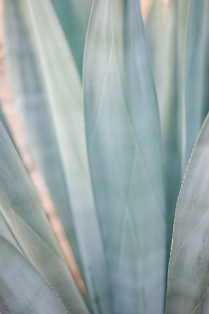 kate-holstein-agave