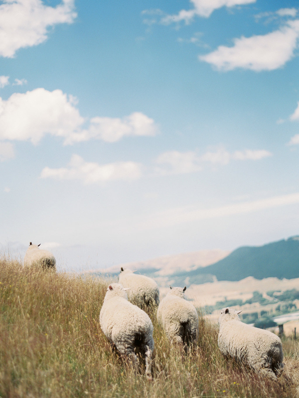 new-zealand-landscape-sheep