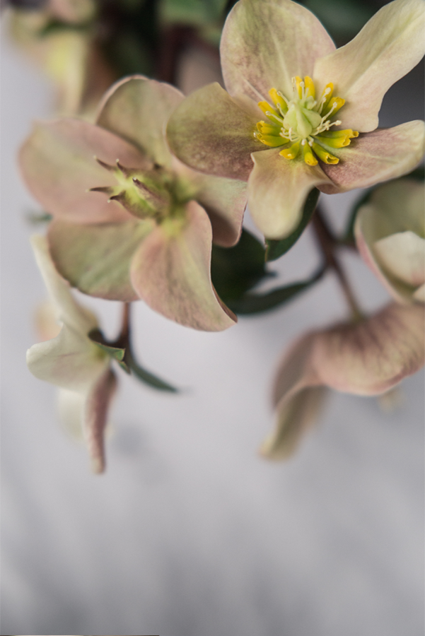 hellebore-wedding-flowers