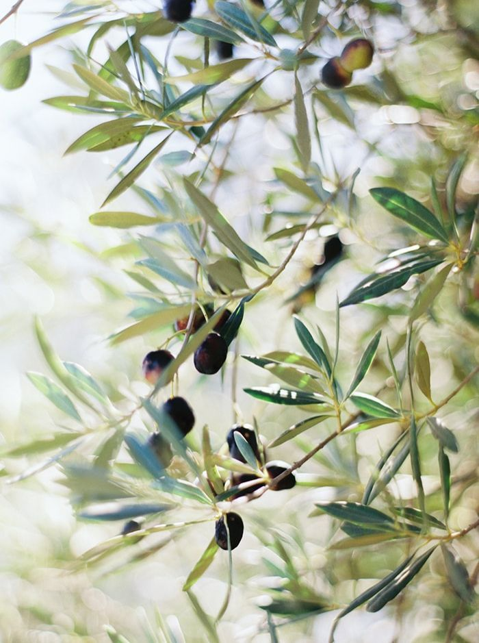 4-olive-tree-wedding